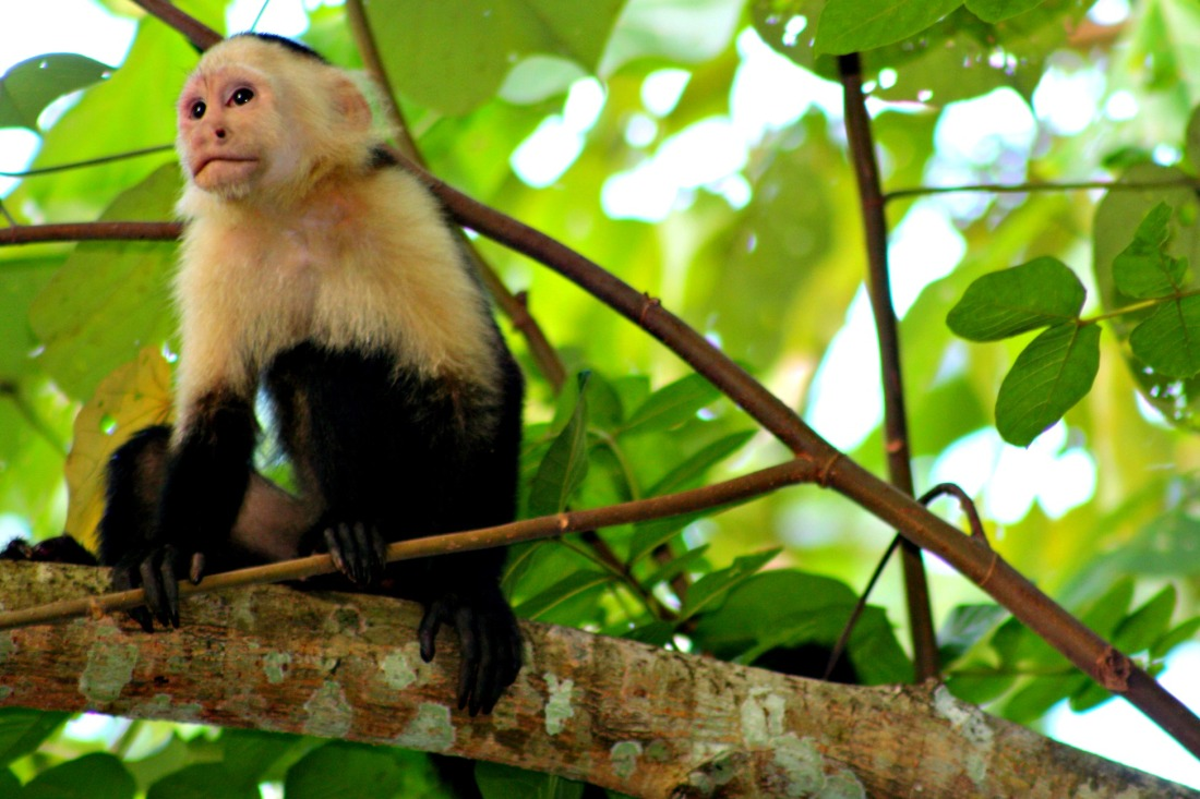 White-headed Capuchin